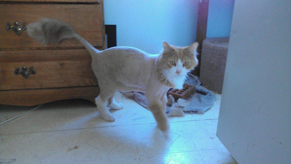 Saxon shaved